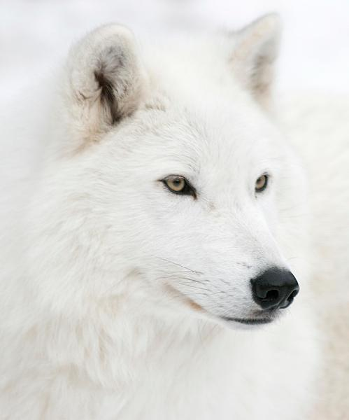 Arctic wolf with green eyes