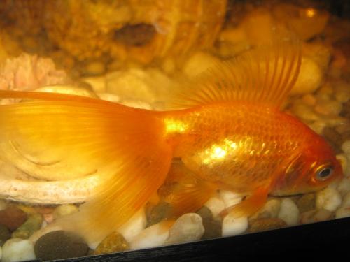 Беременная золотая рыбка как выглядит 72