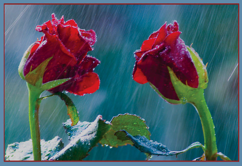 картинки розы две