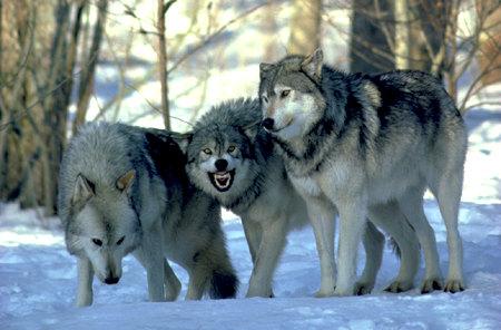 На Херсонщині замість зайців на мисливців вискочила зграя вовків