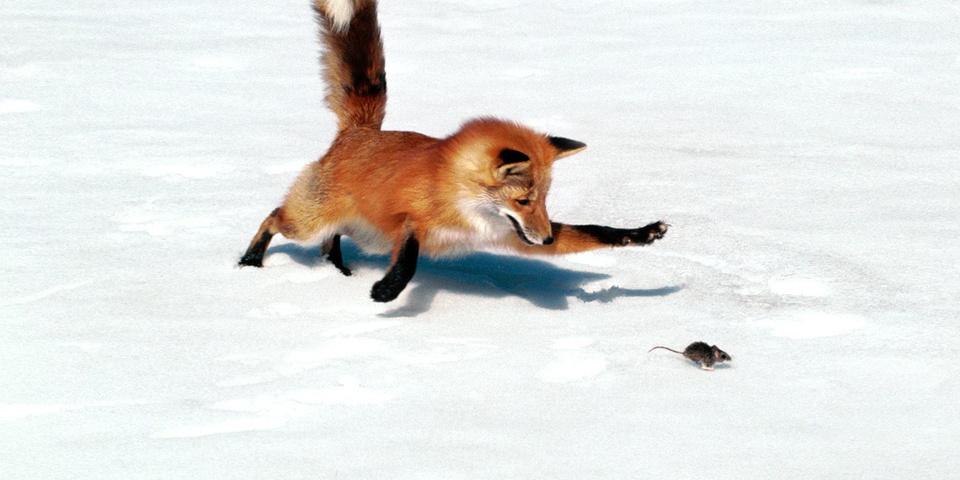 лиса ловит под снегом