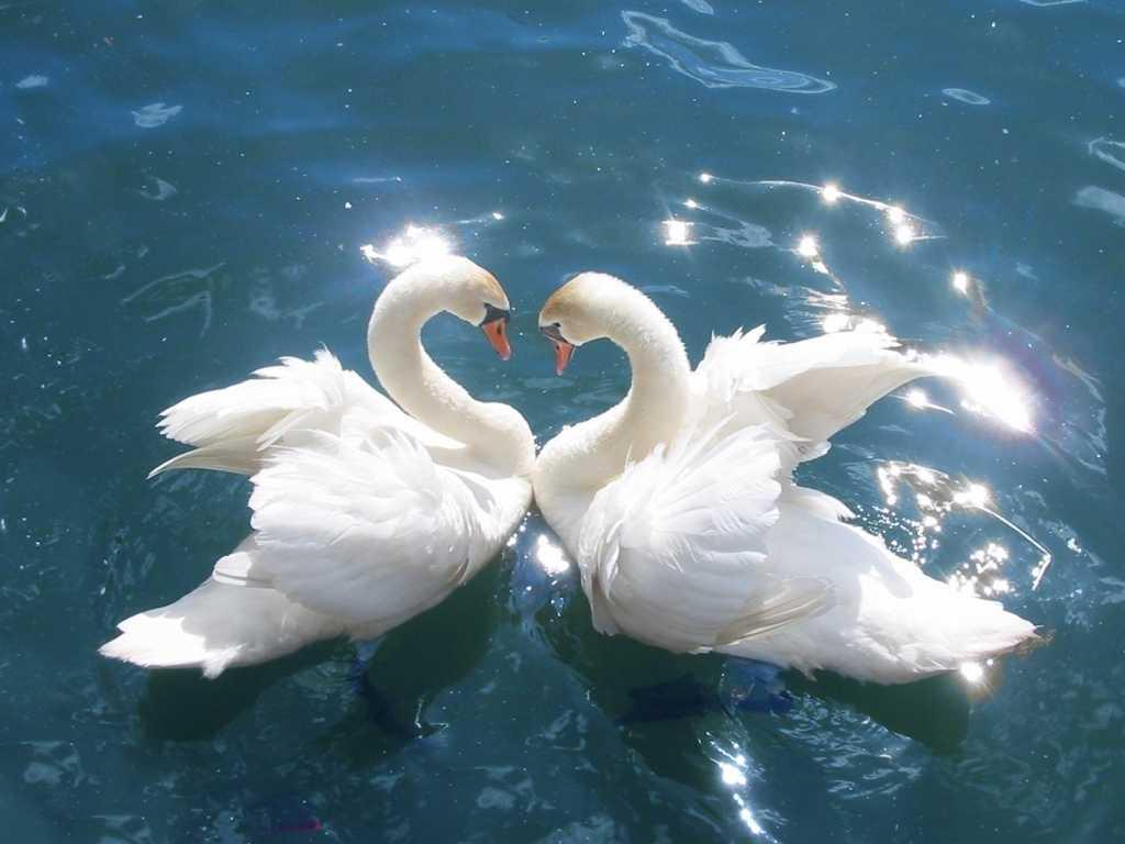 Картинка с лебедями на свадьбу, мамино