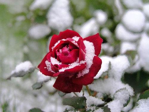 Роза одинокая картинки