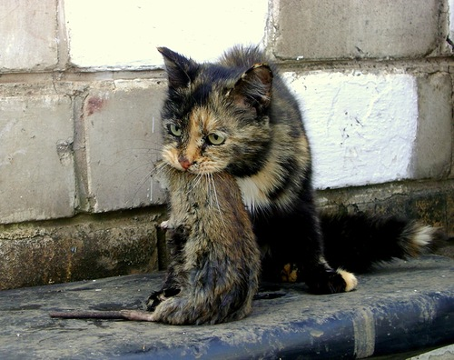 порода кошек ловят крыс
