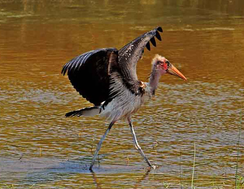 Марабу птица картинка