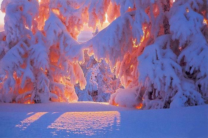Озарило хвойный лес солнечным пожаром