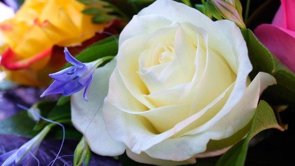Открытка с белыми розами с днём рождения