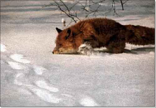 видео как лиса ловит мышей в глубоком снегу