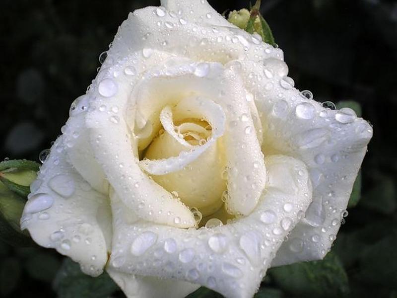 том, ірина білик белие рози джинсы хорошо сочетаются
