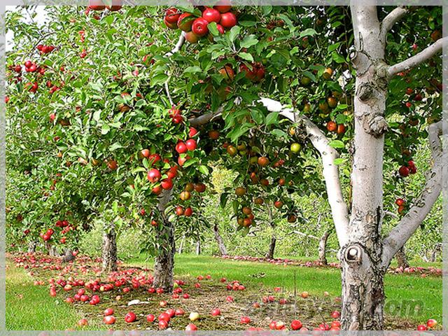 Дизайн фруктового сада фото