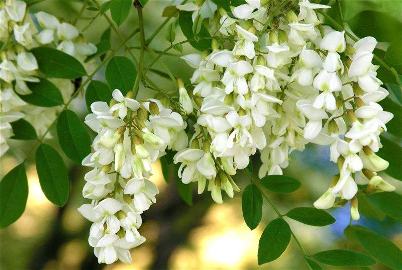 Фото цветы акация