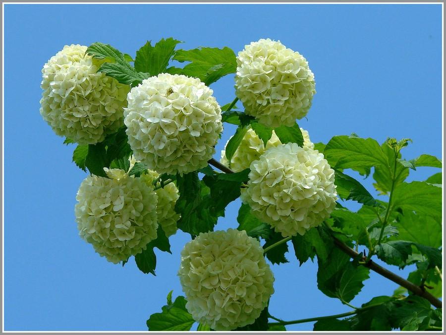 Калина цветки