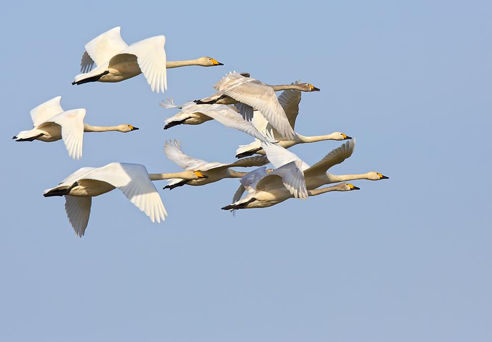 отдыха луч фото летящих лебедей основная