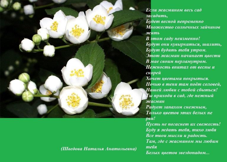 Фото цветка жасмина