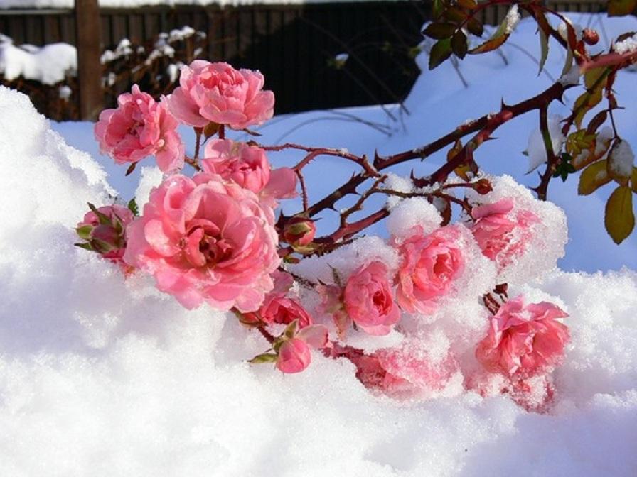 Картинки, цветы на снегу картинки с подписями