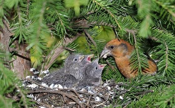 гнездо клеста картинки рыжей лисички ушками