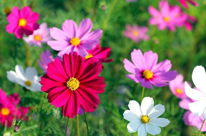 Как выглядит космея цветок