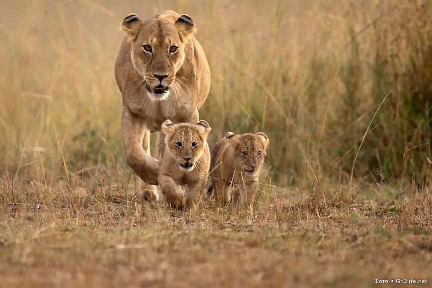 фото львица с львятами
