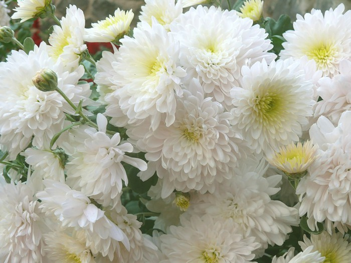 Белые хризантемы картинки с днем рождения