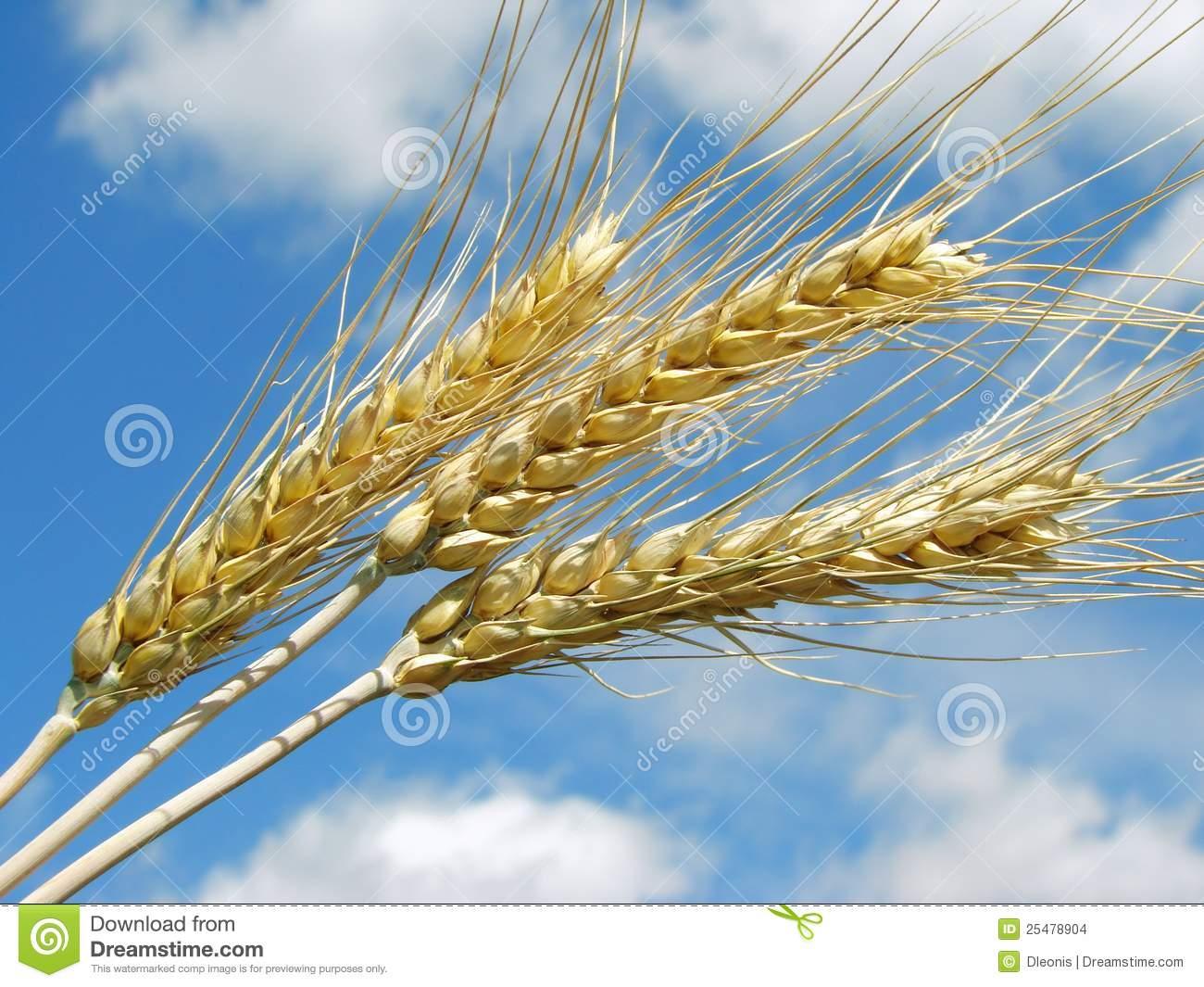 Делаем интерьерную композицию «Колоски пшеницы видео мастер-класс 98