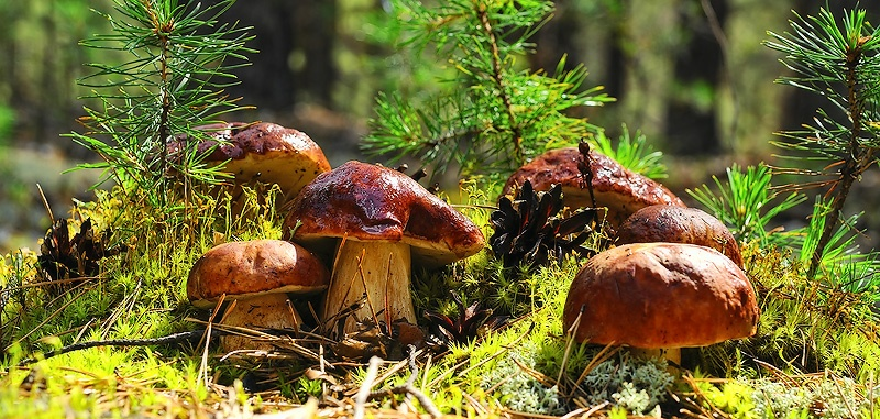 грибы картинки лес