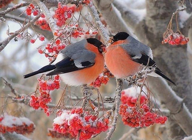 Рябина и снег стихи
