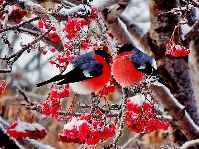 Пицунде как розовые яблоки на ветках снегири лежат снежинках, приклеенных