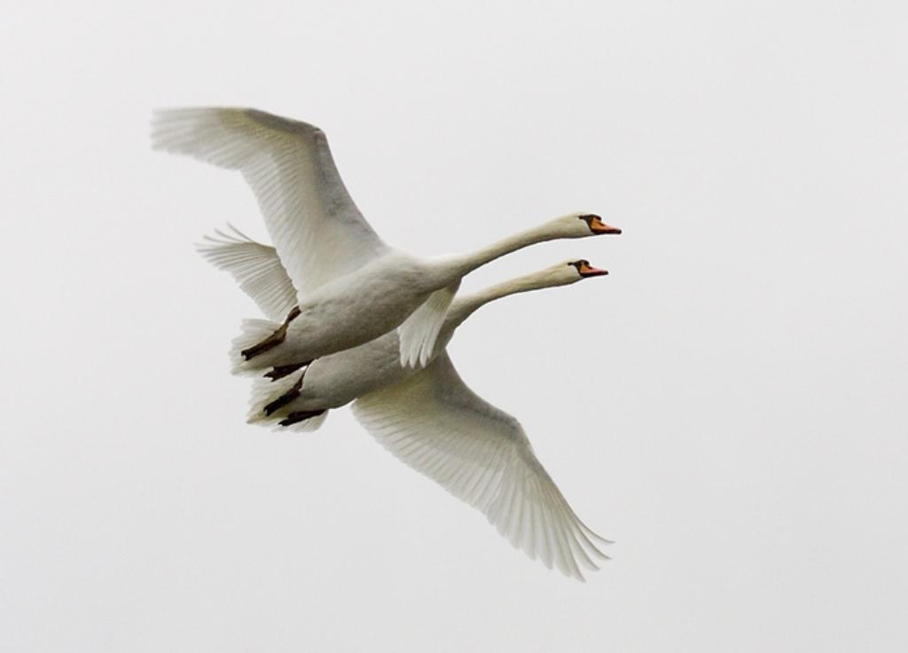 Меня у лебедей милый сломано ты лети крылопро полетели одна