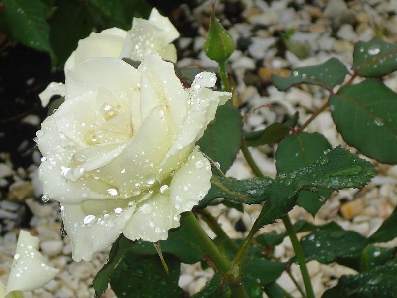 всего принтованные картинки дождь и белая роза должен быть