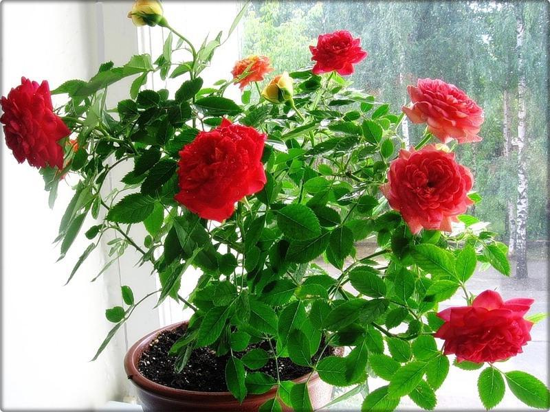 Домашняя роза в домашних условиях фото