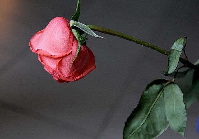 Завяла роза/ упаковка для цветов киев