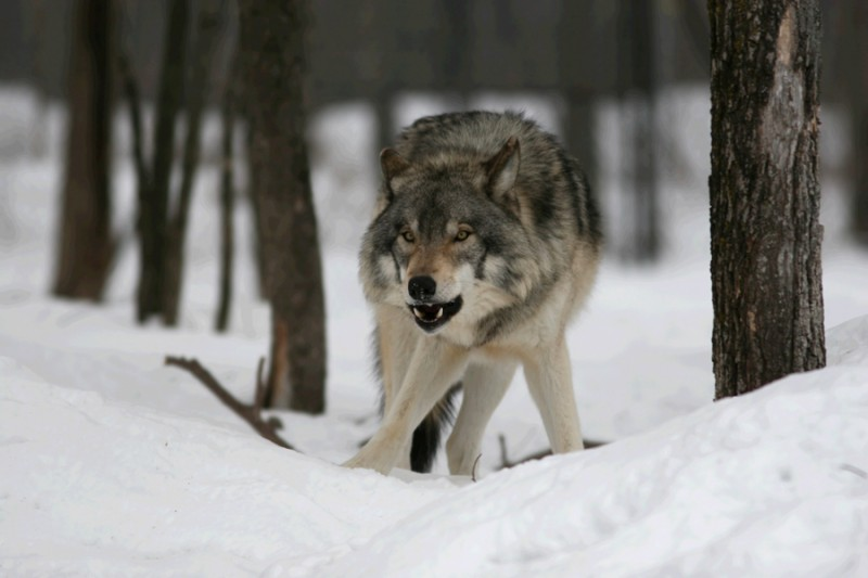 Скачать песню волчья тропа