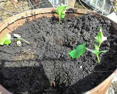 Высаживаем рассаду огурцов фото