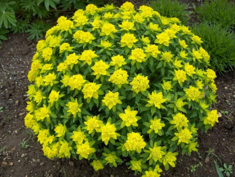 Цветы многолетники цветущие садовые