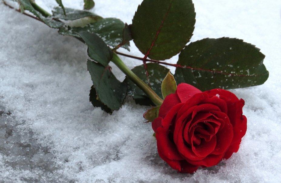 Картинки цветы на снегу красивые, открытки детский
