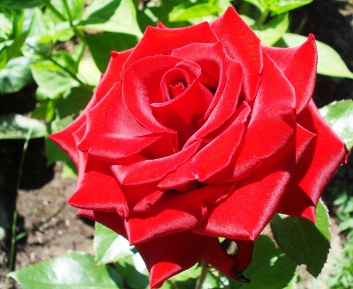 видео розы алые розы красные розы белые слушать
