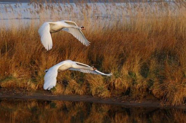 Скачать песню над землёй летели лебеди
