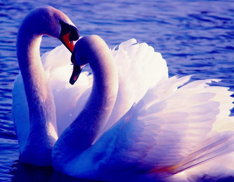 Красивые картинки с лебедями о любви