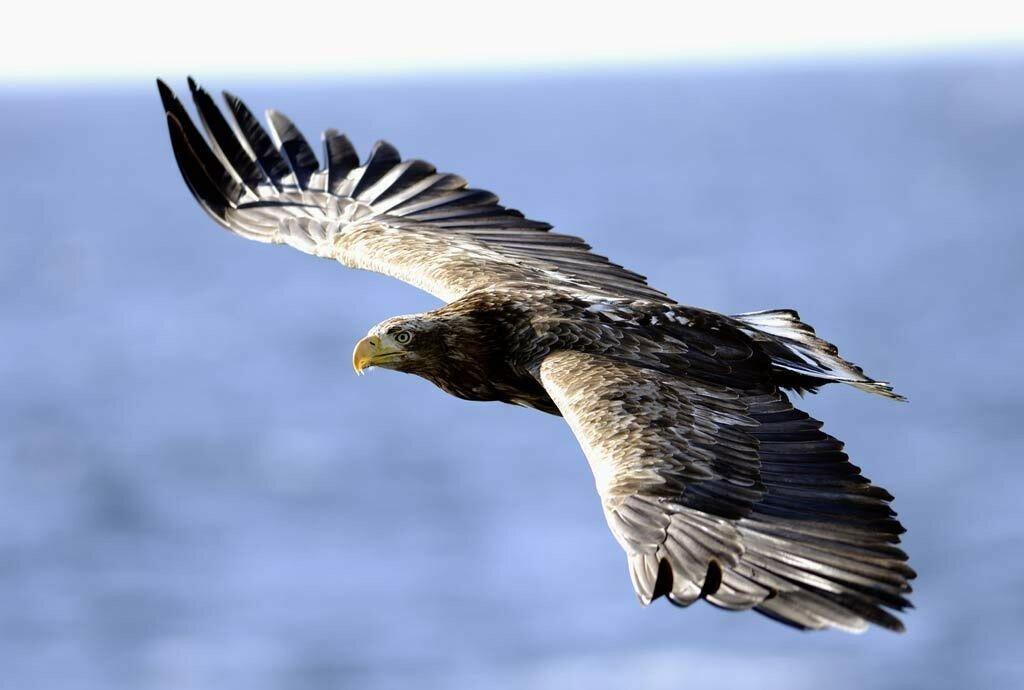 Орел в полете в картинках