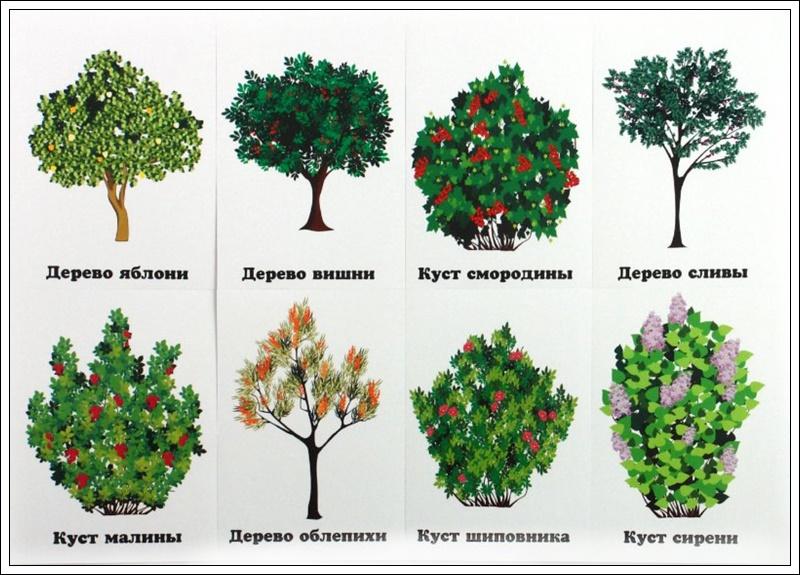 Деревья и кустарники в доу