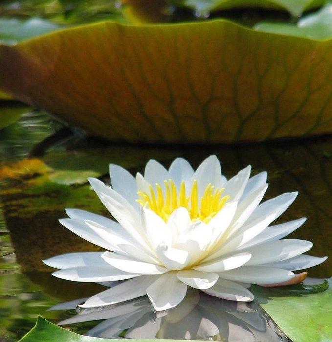 Как называются цветы на воде 63