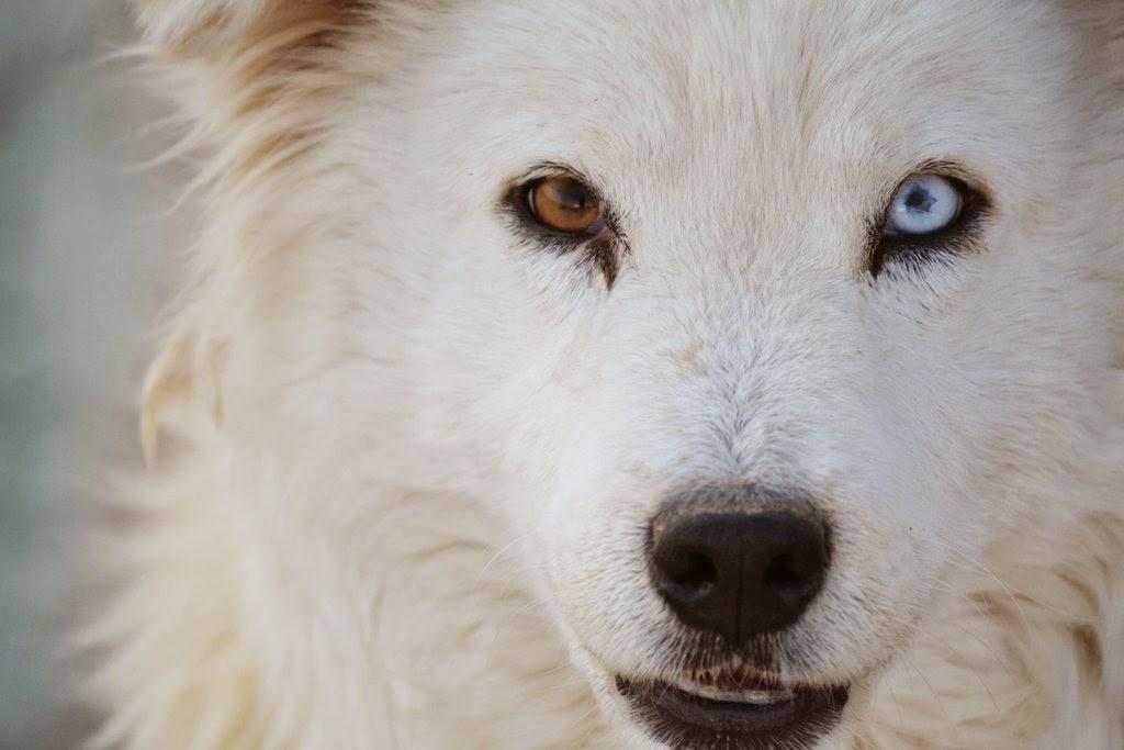 картинки голубоглазых волков устанавливаются