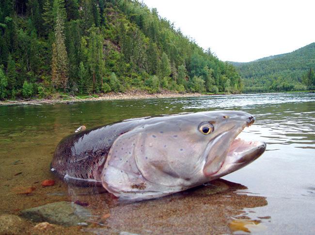 таймень рыба как ее поймать