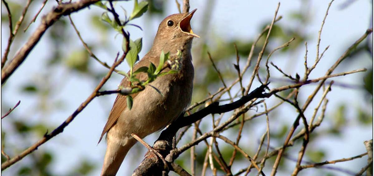 Канарейки часто поют ранним утром поэтому