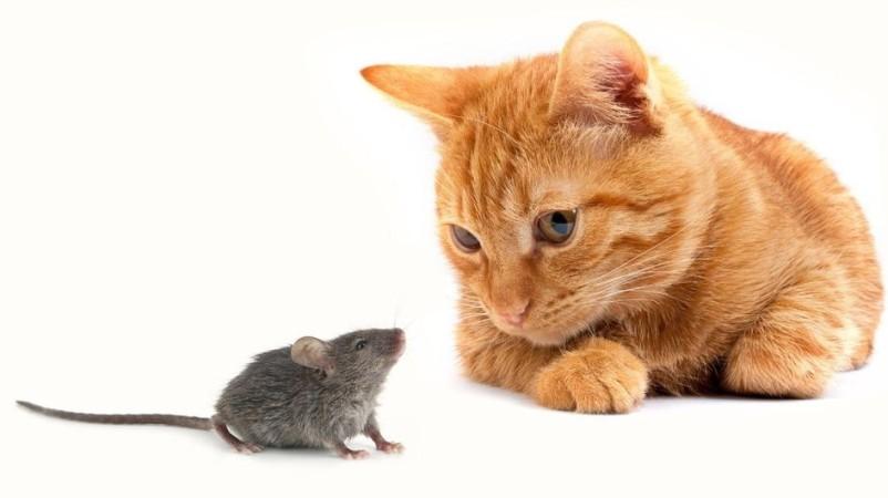 кошки и коты ловят мышей