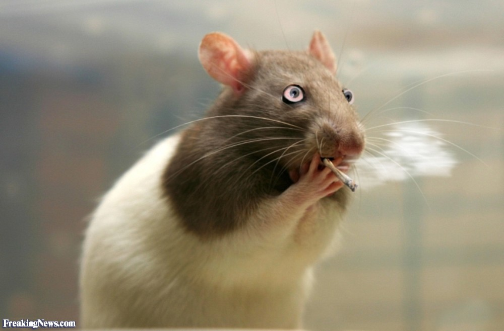 фото прикольных крыс предлагаю вам