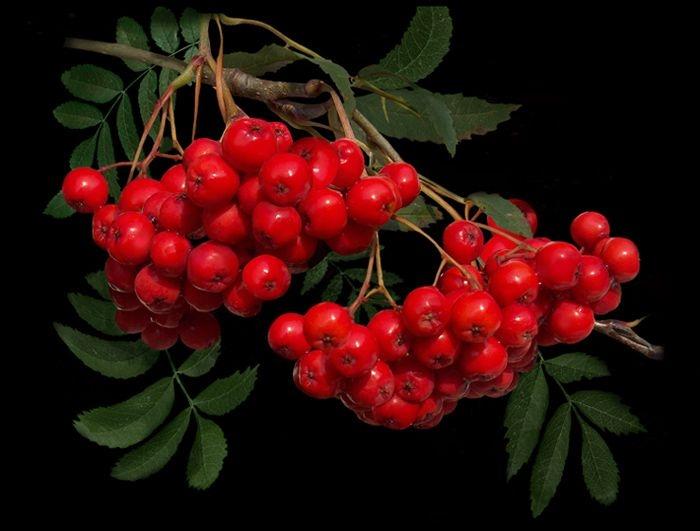 Картинка ветки рябины с ягодами, годовщина