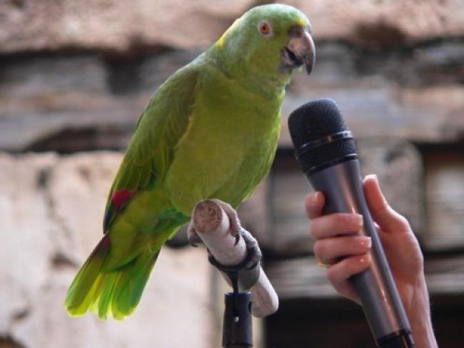 Волнистый попугай умеет разговаривать