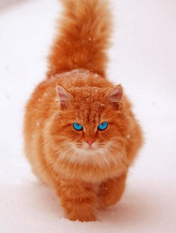 отличается между фото рыжего голубоглазого перса сыграл