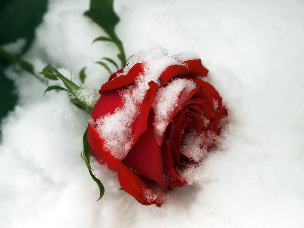 Розы на снегу картинки фото, привет доброго утра